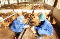 Hộ gia đình chăn nuôi gia súc gia cầm, có phải đăng ký kinh doanh?